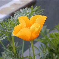 Escolzia sommità fiorite - prezzo per 100 g.