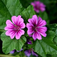 Malva fiori e foglie - prezzo per 100 g