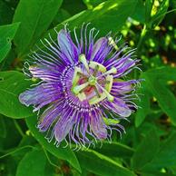Passiflora sommità fiorita - prezzo per 100 g