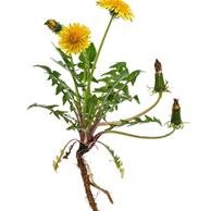 Tarassaco radice - prezzo per 100 g