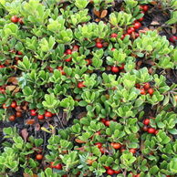 Uva ursina foglie - prezzo per 100 g